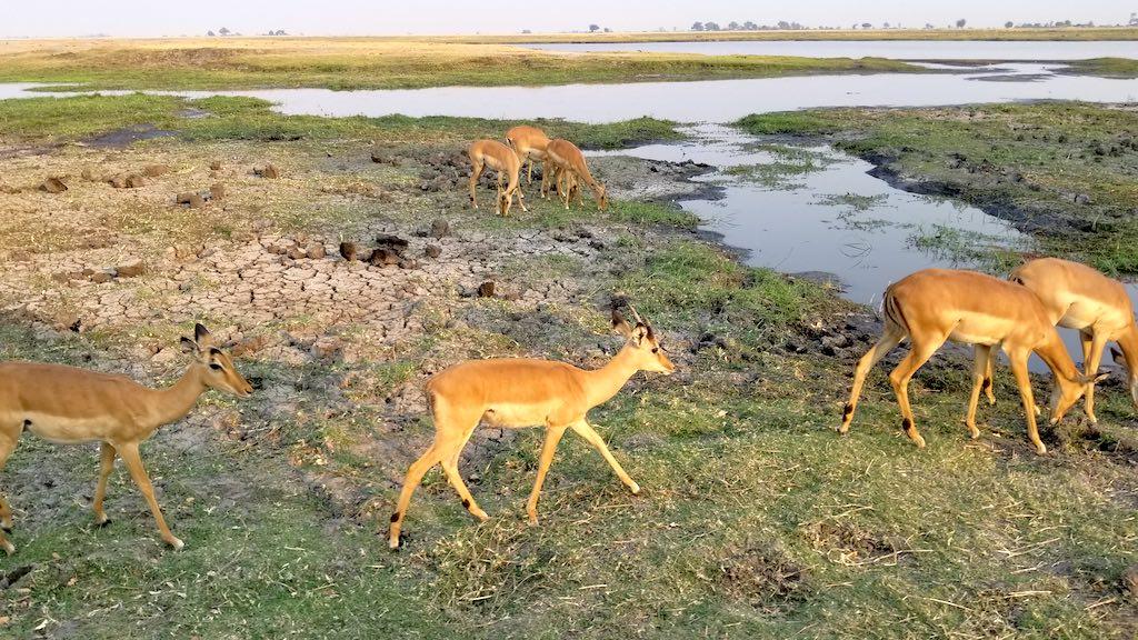 Wild Dog Safaris - Chobe National Park, Botswana - Antelopes
