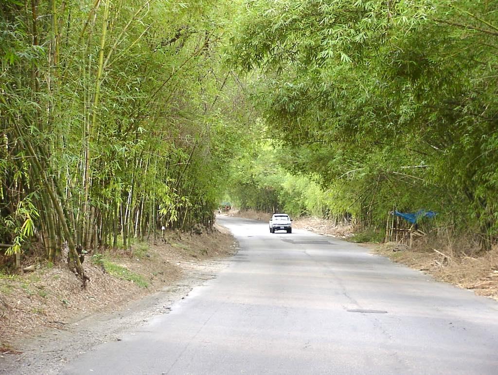 Holland Bamboo, St. Elizabeth Jamaica